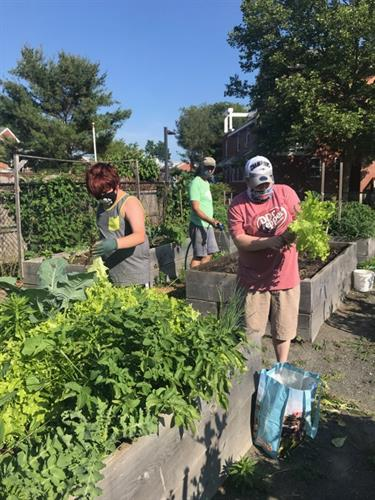 Gardeners harvesting their own fresh, healthy produce at Willowood Community Garden
