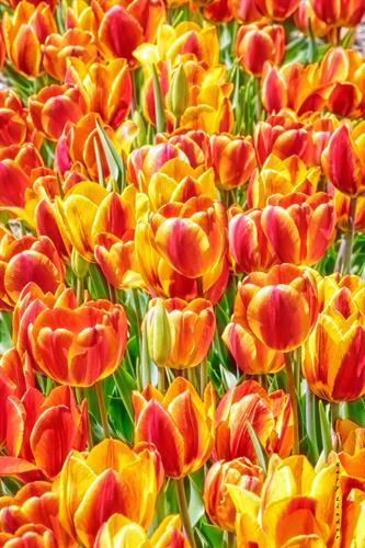 Tulips on the Boulevard