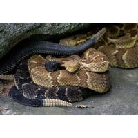 Lackawanna College Environmental Education Center to host The World of Timber Rattlesnakes!