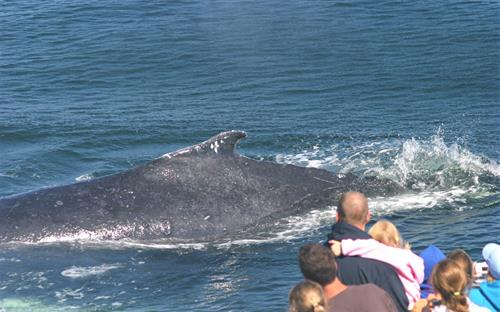 Watching a humpback aboard the Whale Watch! We are Whale SENSE company!