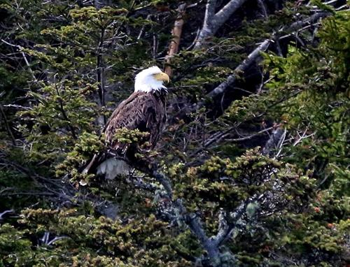 Bald Eagles are a common sighting during boat cruise!