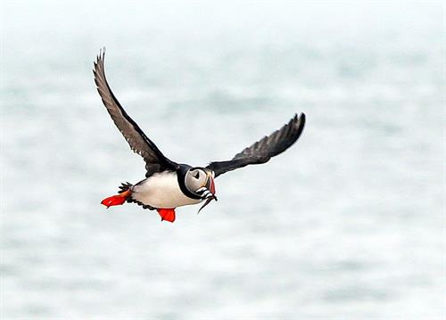 See Atlantic puffins on this cruise!