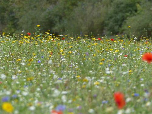 Wildflower Meadow Project