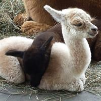 Adorable baby alpacas