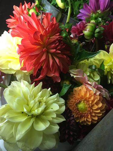 Gallery Image dahlias_in_the_cooler.JPG