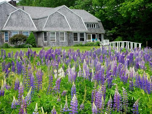 Cottage by Field of Lupines