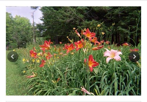 The Once Famous Hermitage Gardens Daylilies
