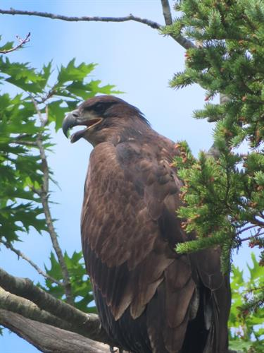 Immature Baby Eagle!  Join our guides and enjoy birding and wildlife!