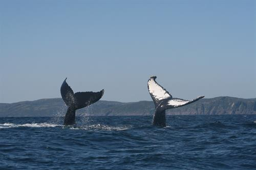 Gallery Image seaofwhales_doubletaillob_krisprince.JPG
