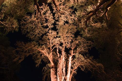 Up-Lighting on trees can create an amazing effect! Let us help you with your next outdoor event.