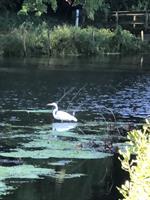 Egret in Baxter's Pond