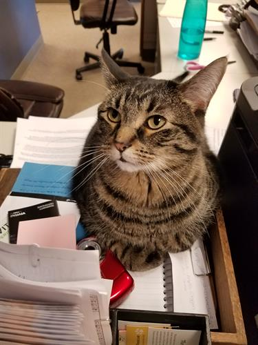 Sid was found behind the clinic when he was only a kitten a few months after Spud arrived. He enjoys laying on the front desk to get attention from anyone willing to give it. He does get overstimulated and may bite. Like Spud, Sid has extra toes!