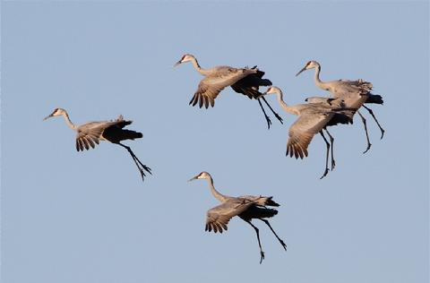 Thousands of sandhill cranes stage for migration at the refuge annually  in October and November.