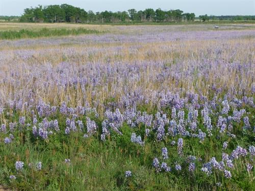 The 7-mile Wildlife Drive is a changing palette of colors and wildlife: Lupines bloom in June.