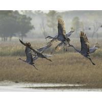 Sandhill Cranes Arriving at Sherburne National Wildlife Refuge