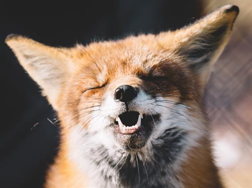 Another fox! Is it smiling? You tell us :)