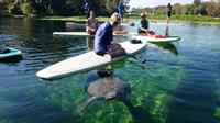 Magical Manatee Moments: SUP Adventure at Blue Springs