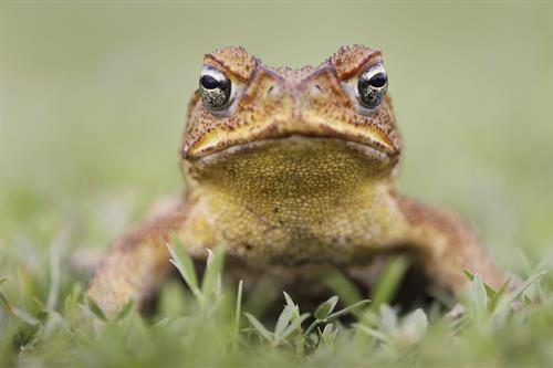 Gallery Image Marine_Toad_Yellow_Background.jpg