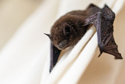 Gallery Image stock-photo-common-pipistrelle-pipistrellus-pipistrellus-a-small-bat-has-strayed-into-the-room-and-climbs-on-452408134.jpg