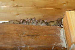 Gallery Image stock-photo-rats-in-a-shed-93657040.jpg