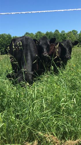 Happy Healthy Cows