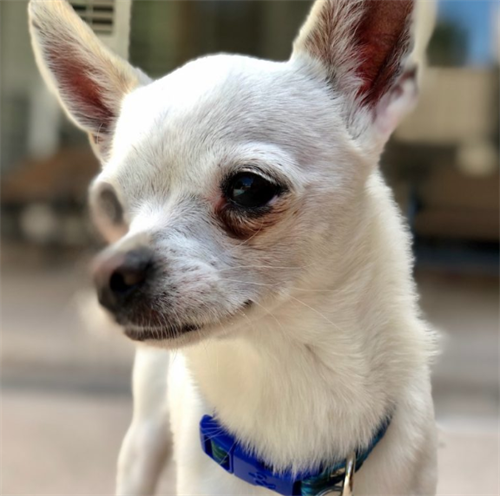 Adoptable Chico