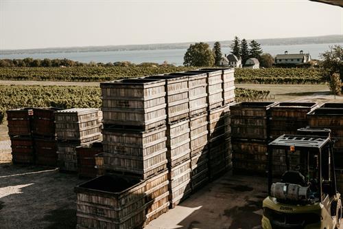 Harvest at Fox Run Vineyards