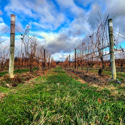 Hilling up is an important part of fall vineyard work. Using a special implement, tractors push soil up around the base of the vines, protecting them (insulating) against extreme winter temperatures.