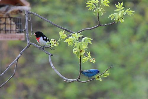 Rose breasted Grosbeak and Indigo Bunting in early spring