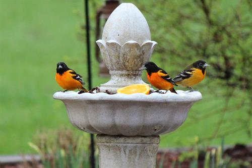 Orioles in May