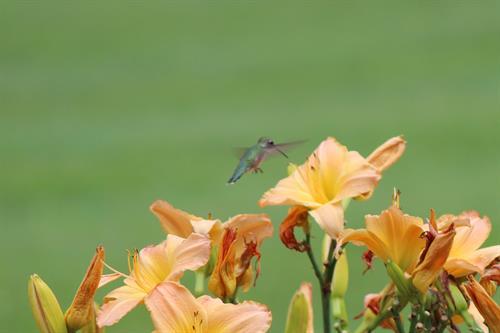 Signature hummingbirds