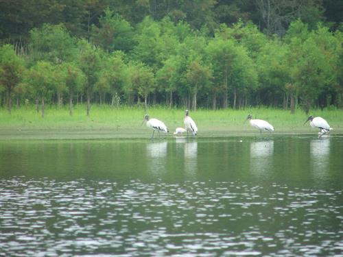 Wood Storks on Marion