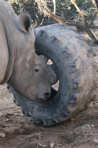 Come meet Jericho our Southern White Rhino as he plays with his enrichment toys.