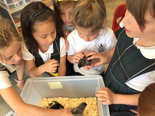 ICGS Kindergarten Students Meet Newly Hatched Chicks in 3rd Grade