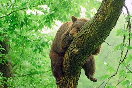 Bear having a break at the arb.