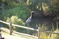 the blue heron at Town Creek