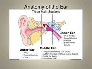 Anatomy of Ear Outer/Middle/Inner