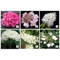 Hydrangeas – How to Choose