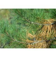 White Pine Yellowing