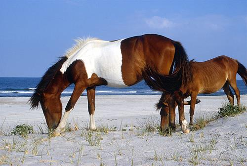 Assateague Island Adventures - Wild Ponies