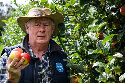 David picking Browns cider apples