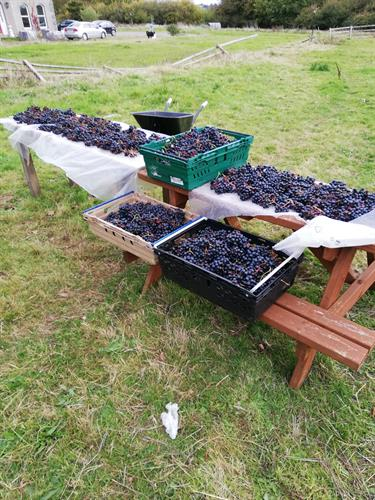 Rondo grape harvest 2018