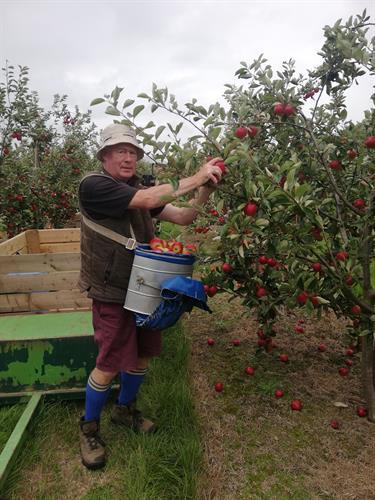 David Harvesting Katy apples
