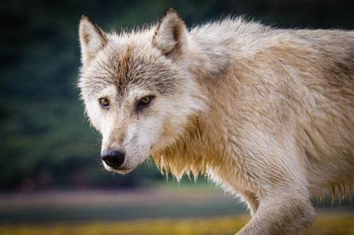 Gallery Image Gray-wolf-700x466.jpg