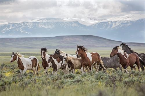 The mare, Taboo, and her colorful family band of pintos at McCullough Peaks.