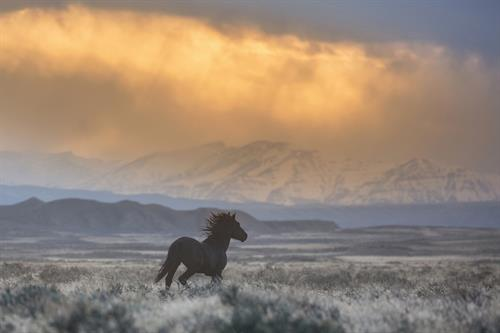The stallion, Lonesome, races a storm at McCullough Peaks.
