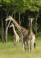 Gallery Image The_Wilds_Giraffe_4.jpg