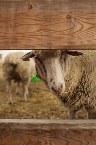 Gallery Image RS_petting_zoo_sheep.jpg