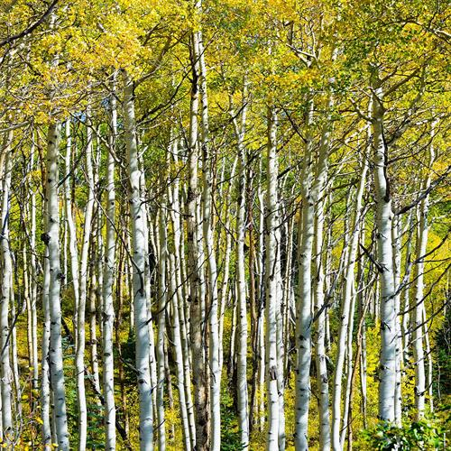 Aspen Trees-Photography by Martin Garfinkel