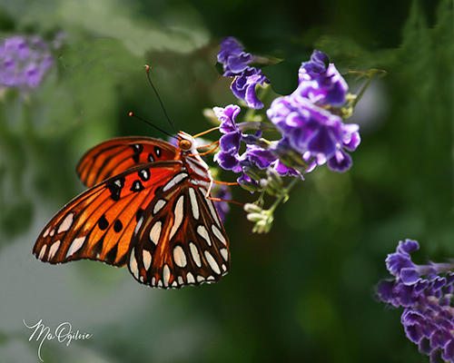 Butterfly Harvesting